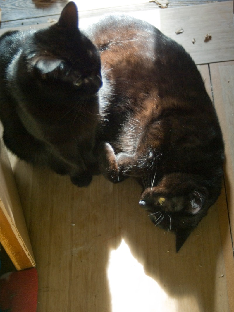 two black cats in sun on floor