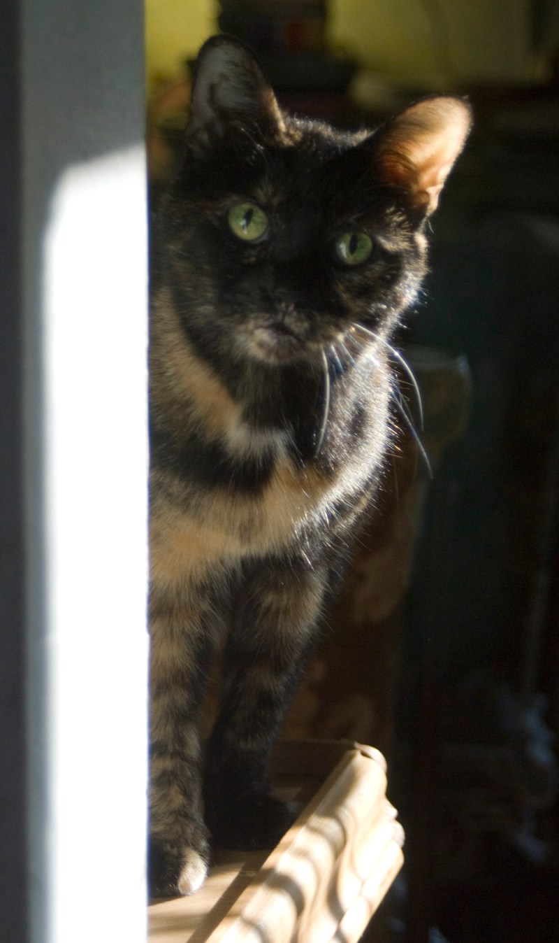 tortoiseshell cat looking around corner