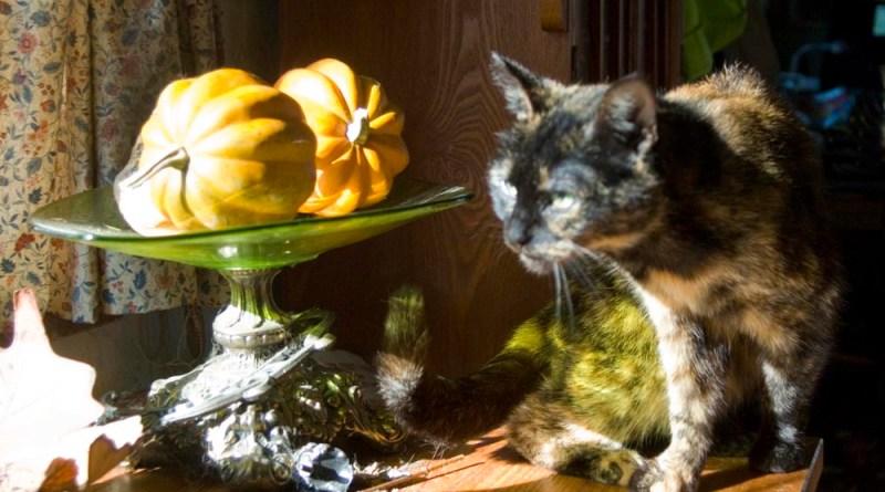 tortoiseshell cat with squashes