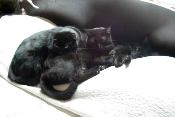 three black cats on bed