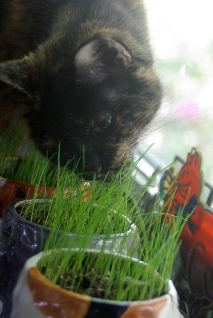 tortoiseshell cat eating grass