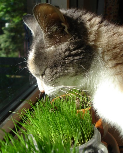 dilute calico cat eating grass