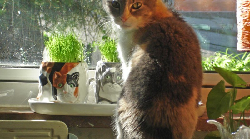 dilute calico cat ready to eat grass