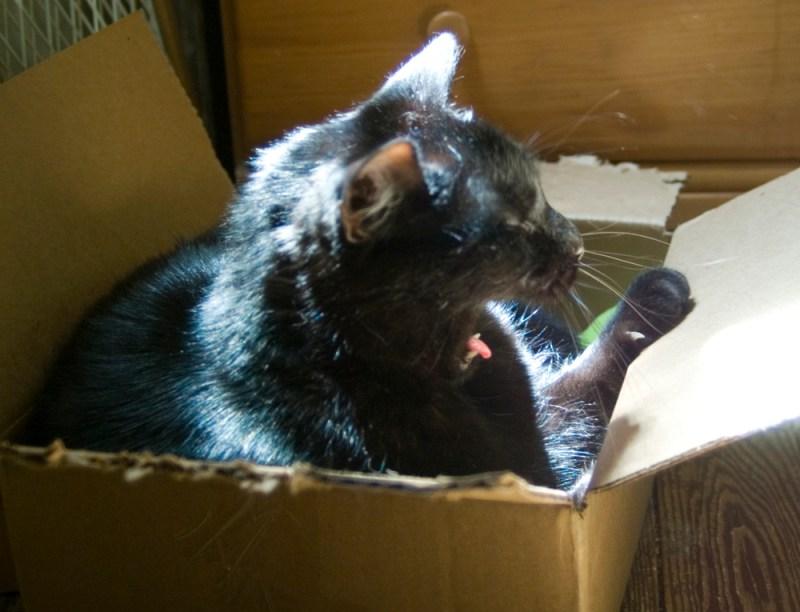 black cat yawning in box