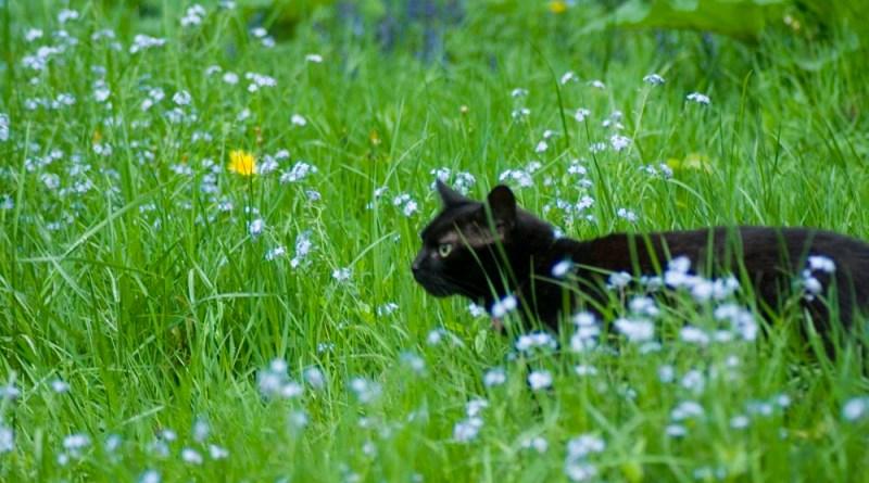 black cat walking through grass