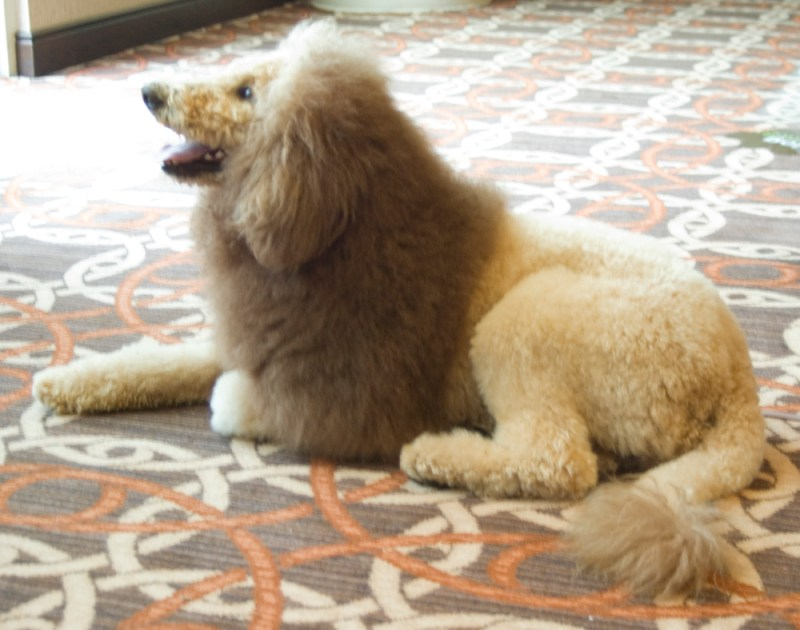 dog with lion cut