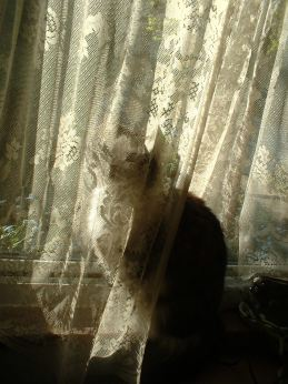 cat with lace curtain