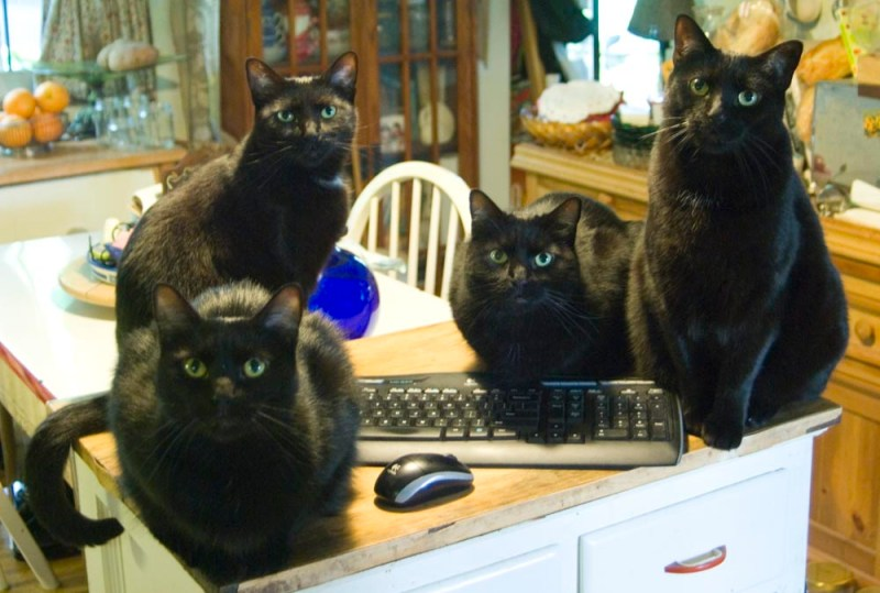 four black cats with computer
