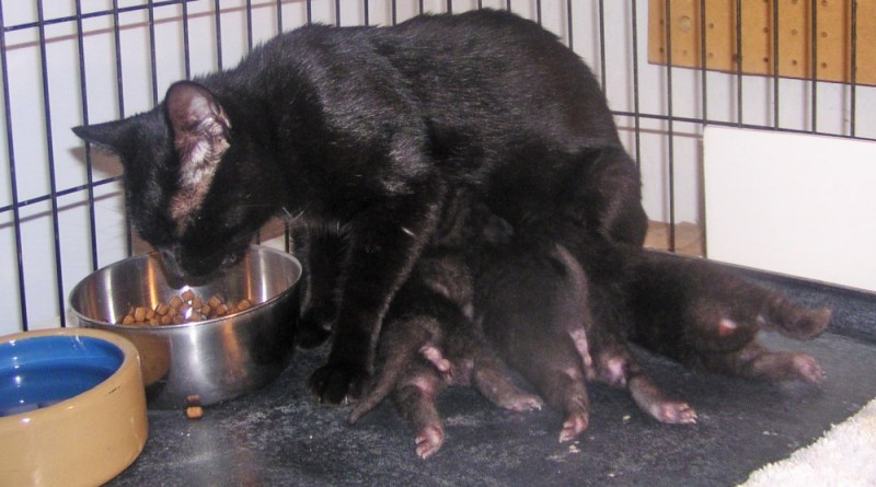 black cat nursing kittens