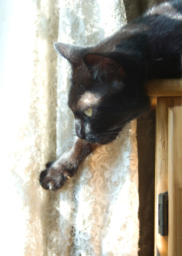 black cat with lace curtain