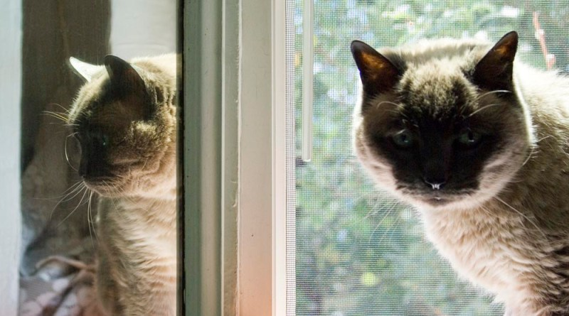 older siamese cat