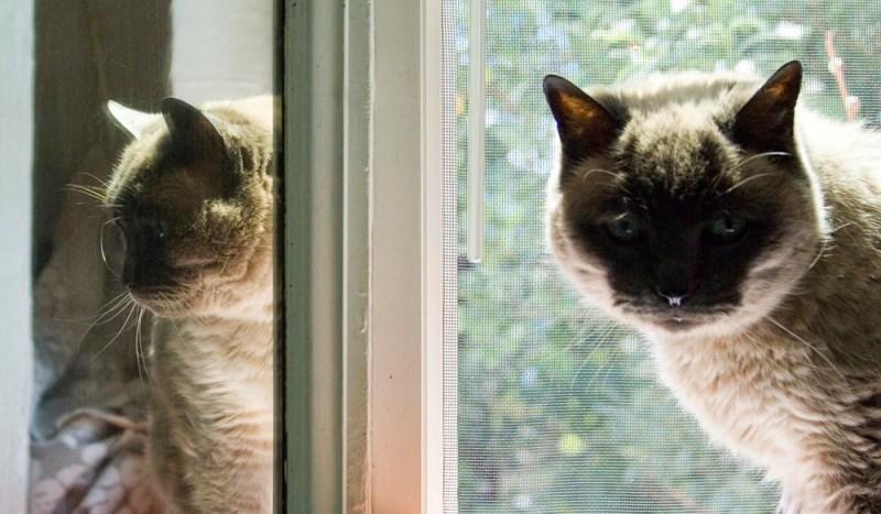 older siamese cat