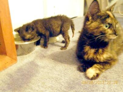 kitten at water bowl