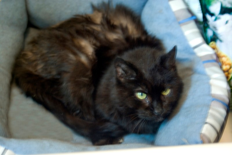 black cat in blue bed