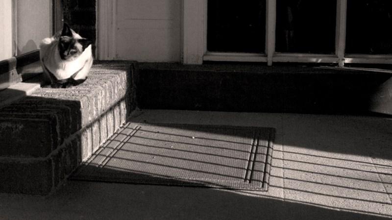 siamese cat in the sun