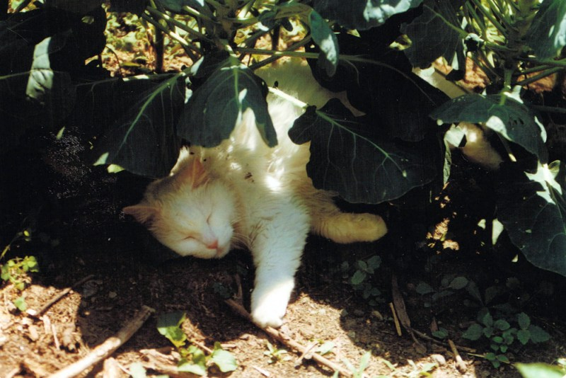 white cat sleeping under brussels spouts