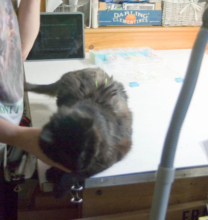 black cat getting acupuncture