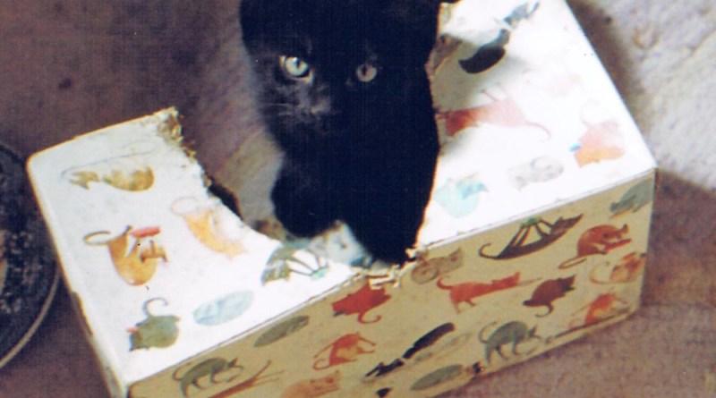 black kitten in kleenex box