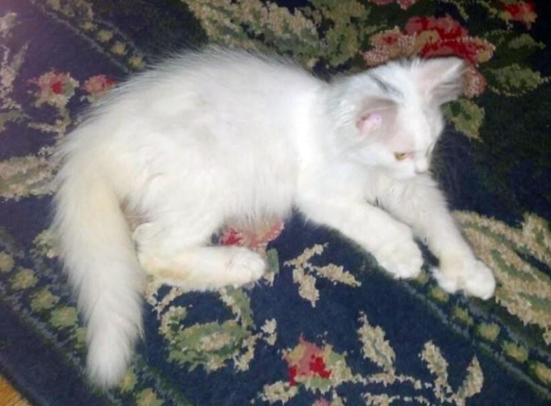long-haired white kitten
