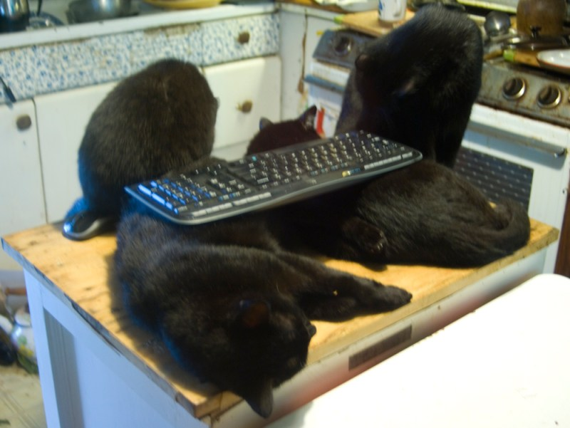 four black cats with keyboard
