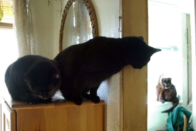 two black cats looking in bathroom at black cat