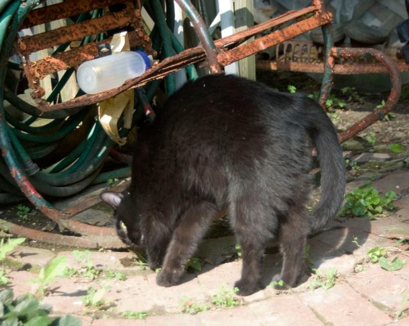 black cat rubbing on rocker