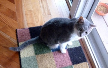 gray and white cat by door.
