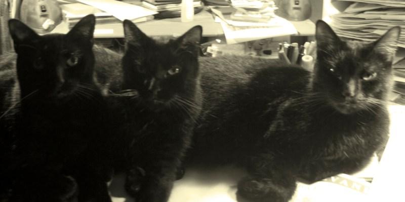 three black cat faces
