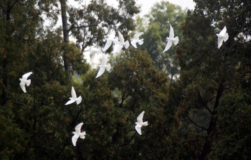 white doves in trees