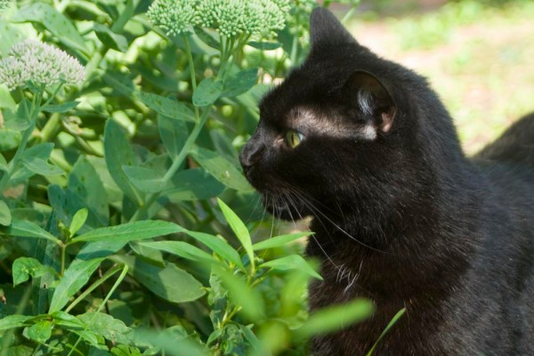 cat with flehmen response