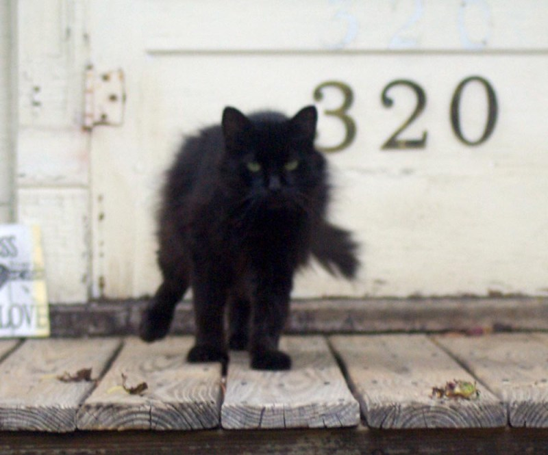 longharied black cat