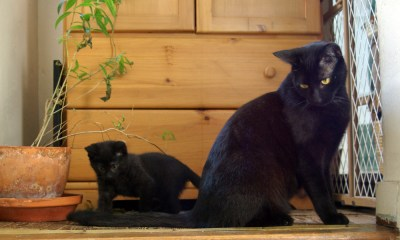 black cat with black kitten