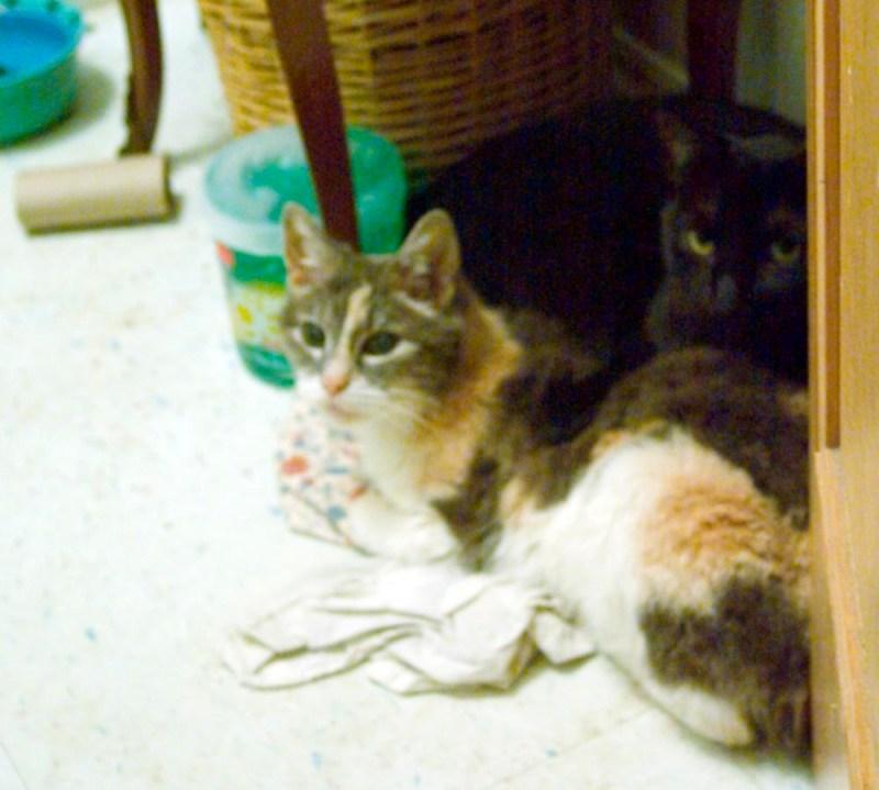 calico and black cat
