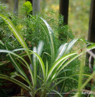 My asparagus fern and spider plants.