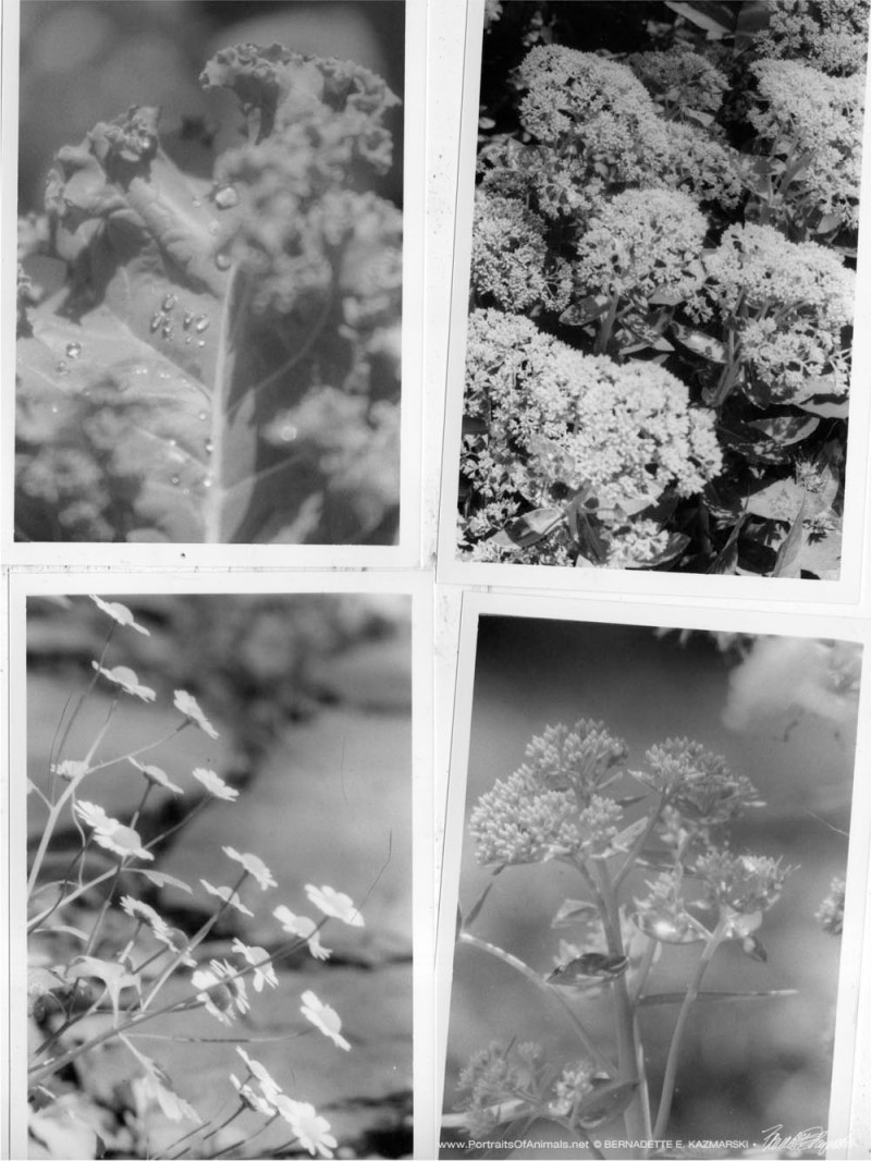 Kale with dewdrops, a mountain of autumn joy sedum, feverfew reaching for the sun, sedum flowers.