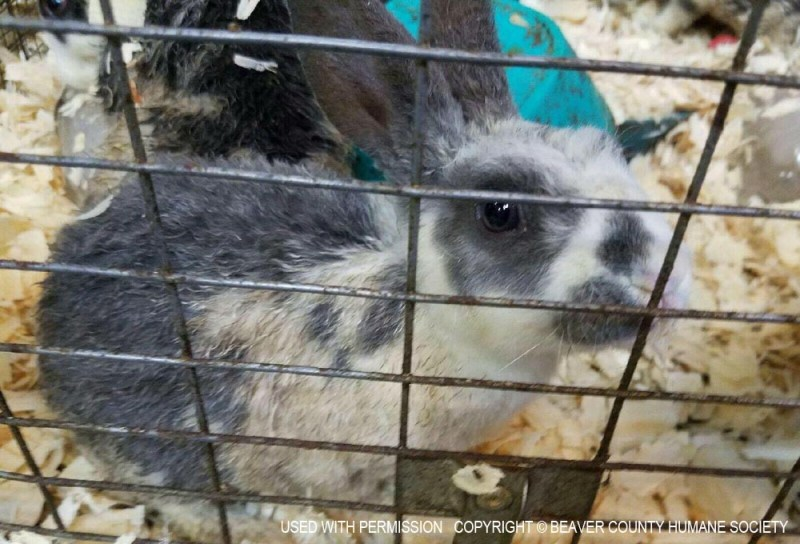 A rabbit rescued by BCHS.