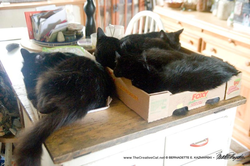 four black cats in boxes