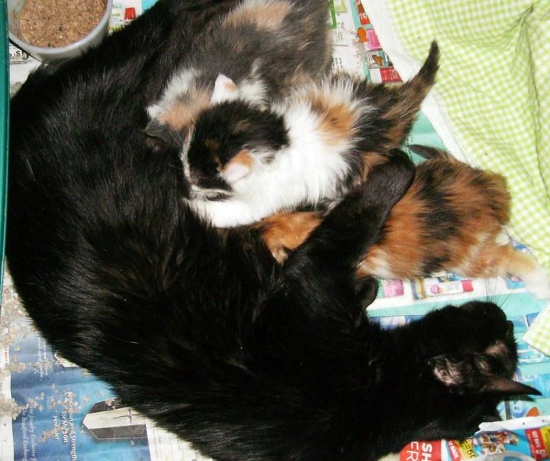 Black momcat with three of her kittens.