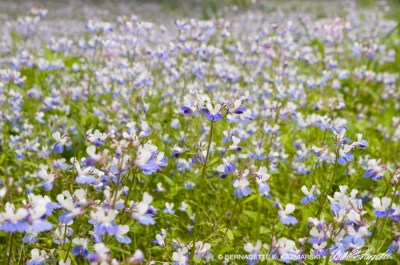 Field of blue-eyed mary.