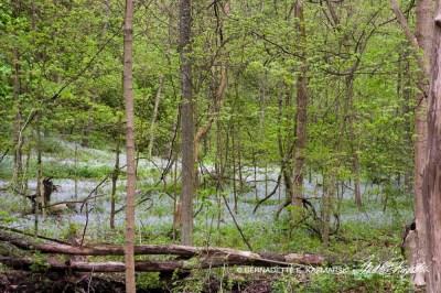 Blue-eyed mary among the trees.