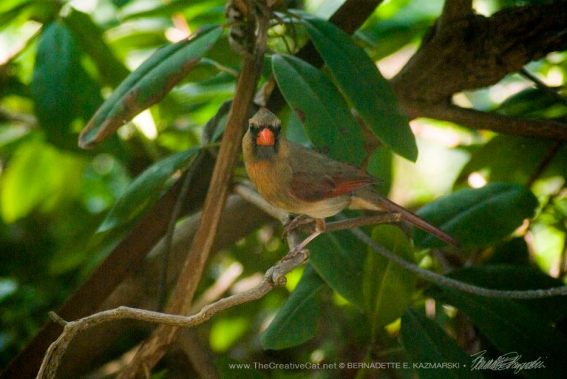 First I heard a cardinal chirping loudly and looked out the window to see a female cardinal in the rhododendron.