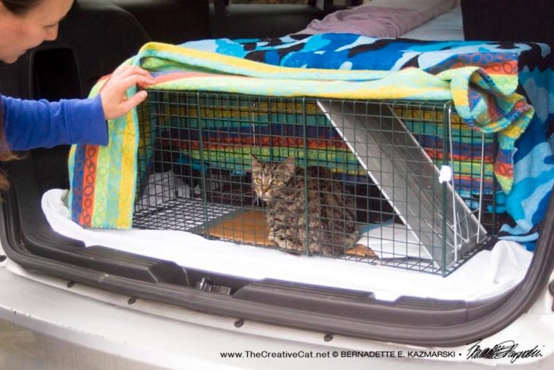 cat in trap in car