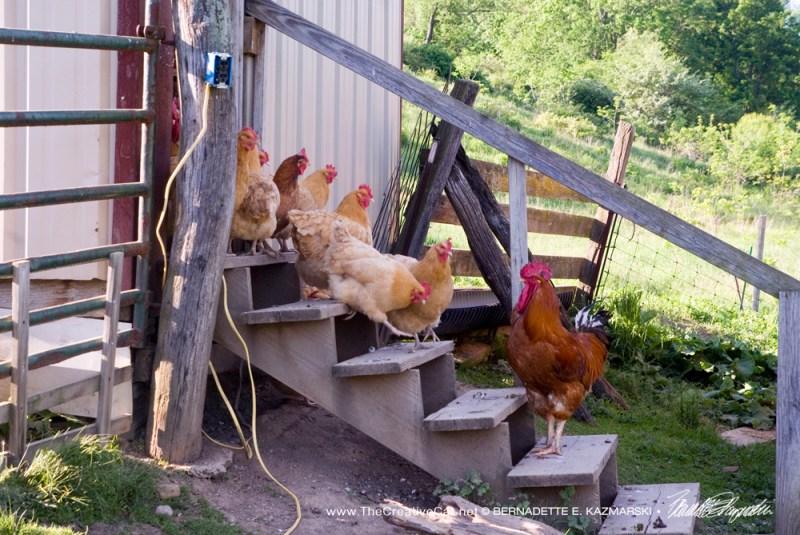The chickens scene.