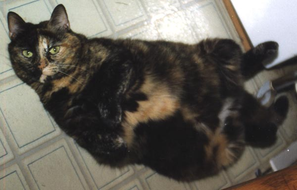 tortie cat on back