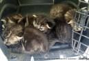 Cute tabby kittens.