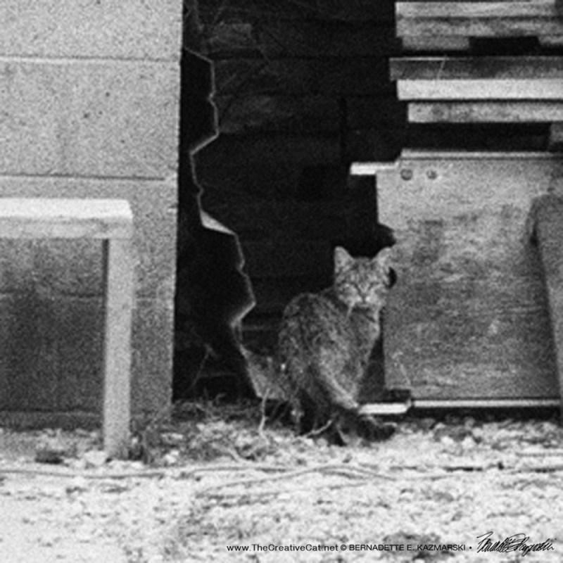 feral tabby cat