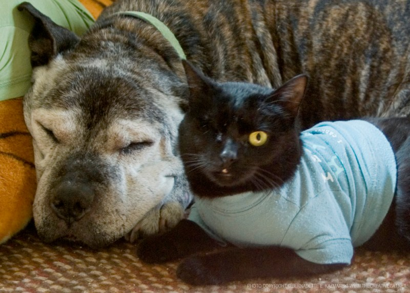 pit bull and black cat