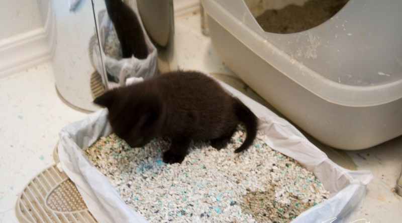 black kitten in litter box