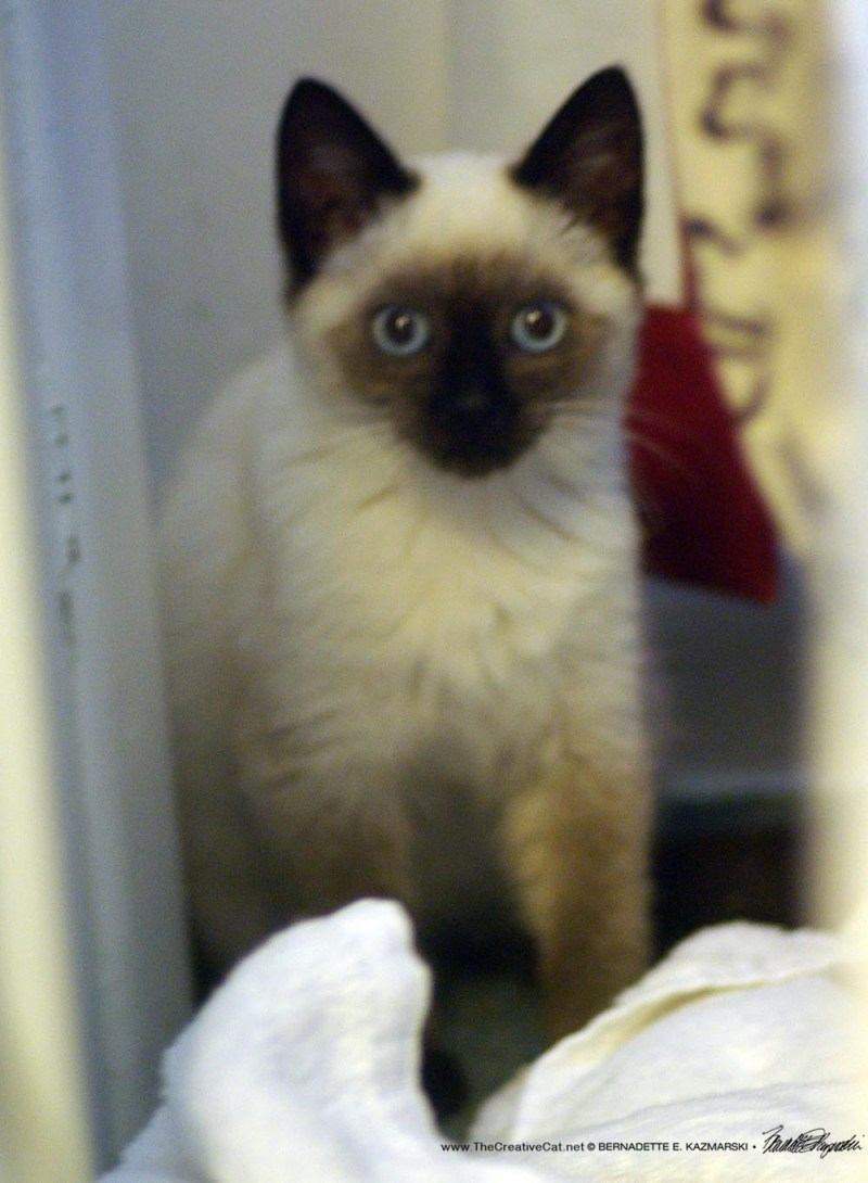 The Siamese mix kitten is a nearly purrfect chocolate point.