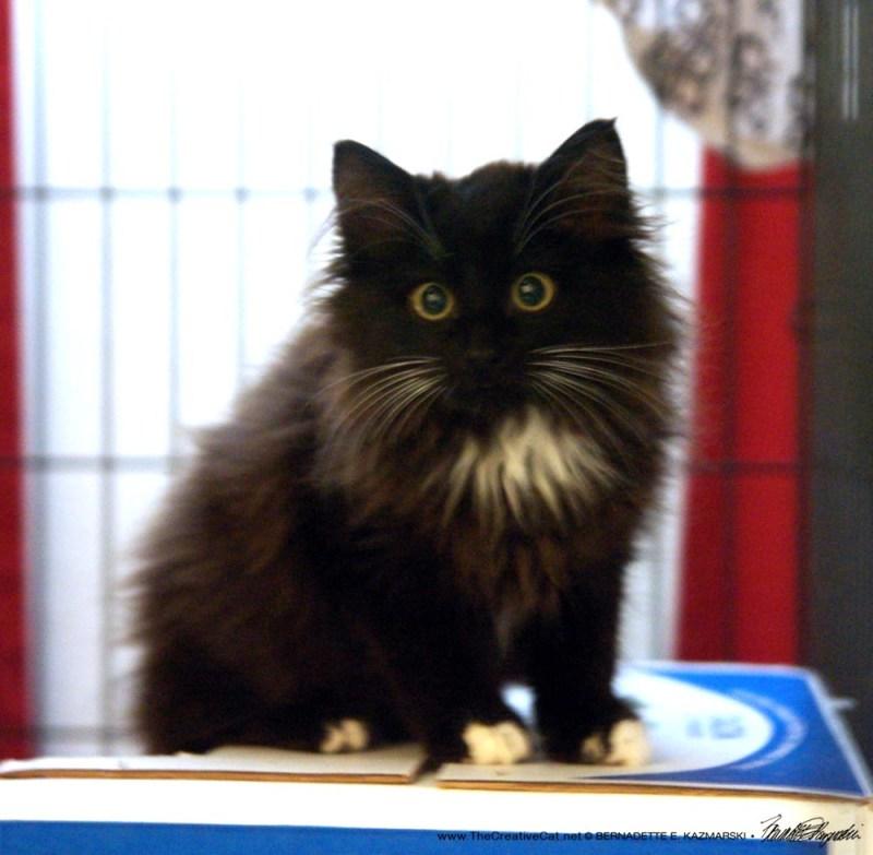 long-haired tuxedo kitten